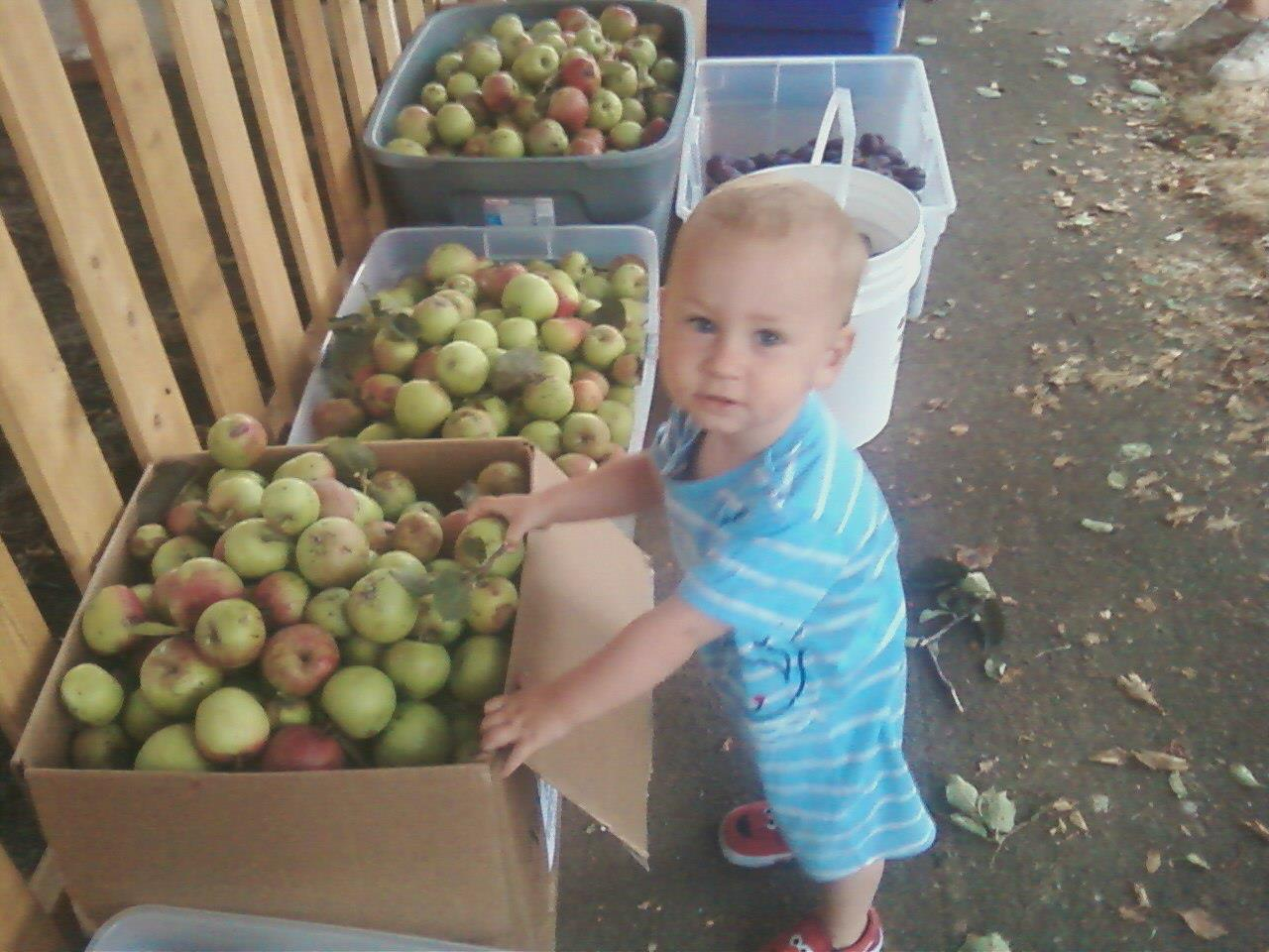 Picture from Apple/plum glean this weekend. Deirdre's son!  Thanks for letting us come Cynthia & Ryan!