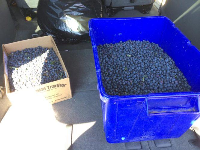 Blueberry Season!
